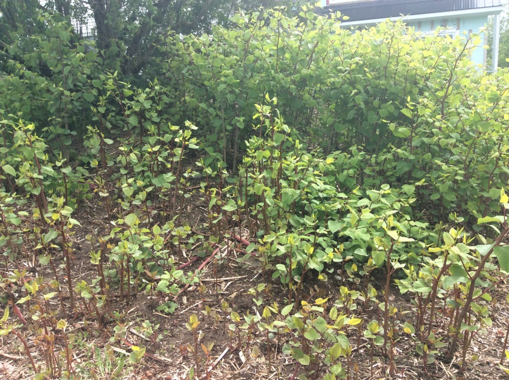 Knotweed round one
